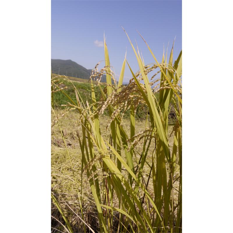 大槌復興米