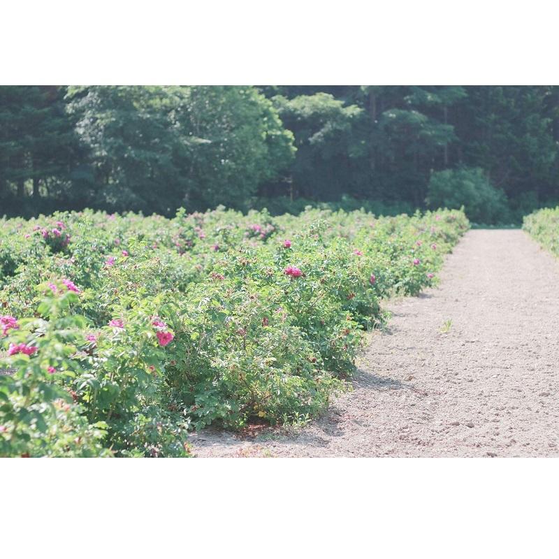 【自由テーマ】rosa rugosa(ロサ・ルゴサ) スキンケアシリーズ
